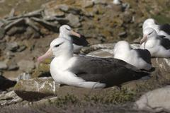 black-browed albatross (diomedea melanophris) - stock photo