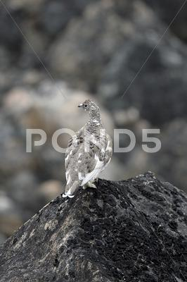 Stock photo of ptarmigan (lagopus mutus)