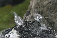 ptarmigans (lagopus mutus) - stock photo