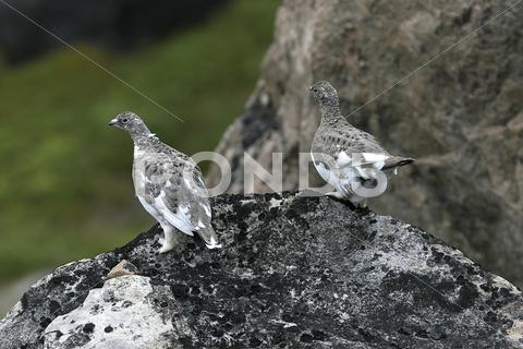 Stock photo of ptarmigans (lagopus mutus)