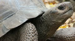 A Galapagos Giant Tortoise in a Serene Forest in the Galapagos Islands Stock Footage