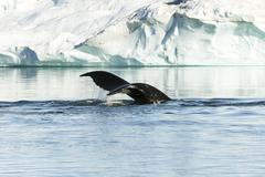 tail of humpback - stock photo