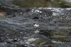 shore plover (thinornis novae-seelandiae) - stock photo
