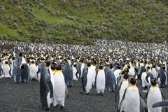 king penguins (aptenodytes patagonicus) - stock photo