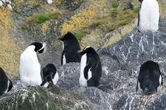 Erect-crested penguins (eudyptes sclateri) Stock Photos