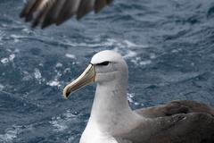 Stock Photo of salvin's albatross (thalassarche salvini)