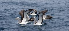 Salvin's albatross (thalassarche salvini) Stock Photos