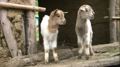 2 cute baby goats scratching in mud and sticks hut africa MS Stock Footage