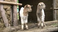 Stock Video Footage of 2 cute baby goats scratching in mud and sticks hut africa MS
