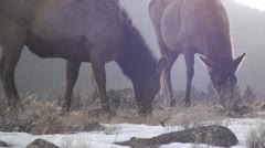P01806 Elk Grazing at Yellowstone National Park with Backlighting - stock footage
