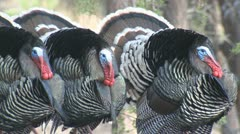 P01816 Three Turkey Gobblers Strutting and Gobbling Stock Footage