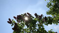 Sunrays through greeny lilac branches Stock Footage