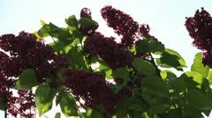 Purple lilac flowers Stock Footage