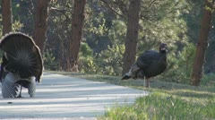 P01820 Male and Female Wild Turkeys Stock Footage