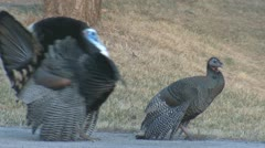 P01811 Turkey Gobbler and Hen in Breeding Season Stock Footage