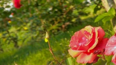 Rose - stock footage