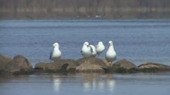P01825 Ring-billed Gulls on Rocks at Lake Superior Stock Footage
