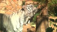 Stock Video Footage of White Tiger 2