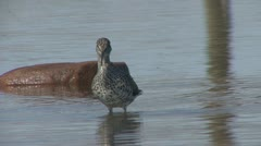 P01832 Yellowlegs Shorebird at Lake Superior Stock Footage