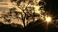 Australia Themed Tree Sunset Stock Footage