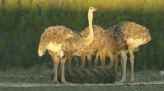 Ostriches on an ostrich farm, Karoo region, Western Cape, South Africa Stock Footage