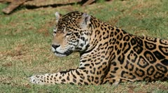 Male jaguar Stock Footage