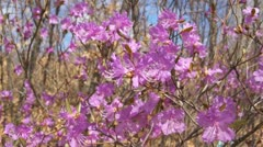 Rhododendron Dauricum Close Up - stock footage