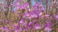 Rhododendron Dauricum Close Up Stock Footage