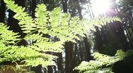 Forest Floor Fern, Glimmering Sun, Dolly Stock Footage