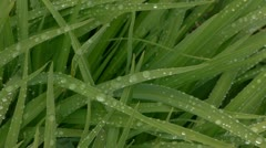 Daylily leaves with water drops - long version Stock Footage