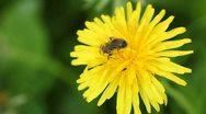 Honey bee on dandelion flower Stock Footage