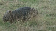 Stock Video Footage of Wombat Walking 1