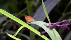 Amid Nature - Least Skipper Butterfly - High Def, 1920 x 1080 - stock footage