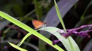 Amid Nature - Least Skipper Butterfly - High Def, 1920 x 1080 Stock Footage