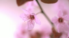 Pink cherry blossom with water drop, Slow Motion Stock Footage