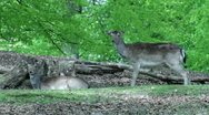 Stock Video Footage of Deer 001