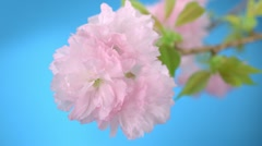 Cherry blossom petal, Slow Motion - stock footage