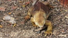 A Galapagos Land Iguana (Conolophus subcristatus) in the Galapagos Islands Stock Footage