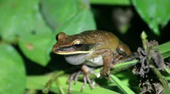 A Basin Treefrog (Hypsiboas lanciformis) calling in the Peruvian Amazon Stock Footage