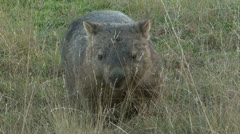 Wombat Walking 3 Stock Footage