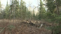 P01843 Tilt Up of Boreal Forest Stock Footage