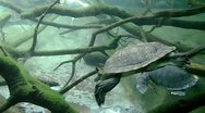Stock Video Footage of Snake-necked turtle swimming underwater