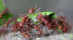 Leaf Cutter ants cutting leaves and fighting in the Peruvian Amazon Stock Footage