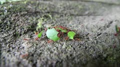 Leaf Cutter ants transporting cut leaves in the Peruvian Amazon Stock Footage