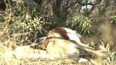 Cheetah eating kill Stock Footage