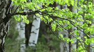 Stock Video Footage of spring birch