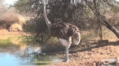 Ostrich Drinking Water in Africa Stock Footage