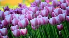 Field of tulips Stock Footage