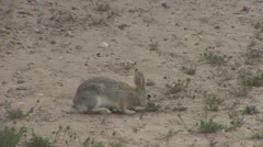 P01861 Desert Cottontail Rabbit at Dinosaur National Monument Stock Footage
