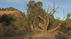 P01871 Juniper Snag at Colorado National Monument Stock Footage